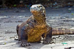 Reptil purba Komodo